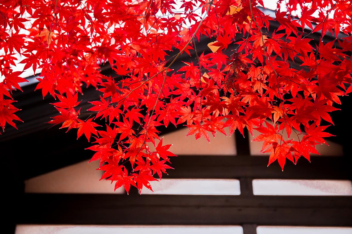 autumn-maple-lo